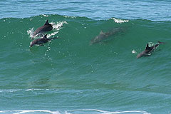 Dolphins surfing the Wild Coast's waves